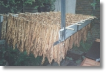 Tobacco leaves being hung up to dry
