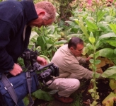 Chris Gurney showing the TV crew the quality of his tobacco plants